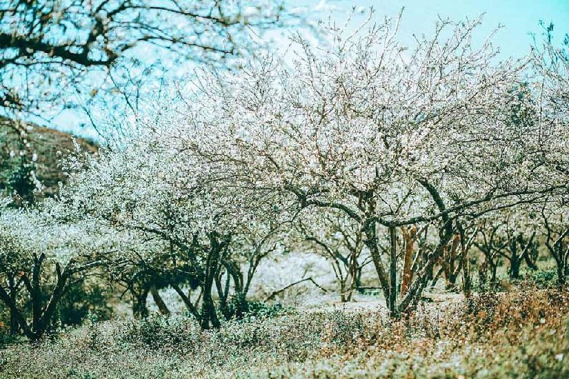 Mộc Châu mùa hoa mận trắng